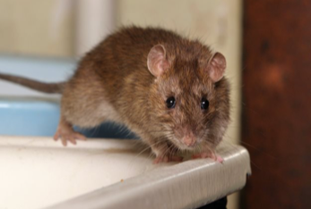 rodent control rodent removal athens ga
