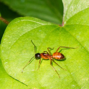 argentine ant removal
