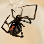 black widow spider removal