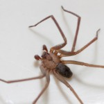brown recluse spider removal