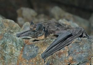 bat removal bat control