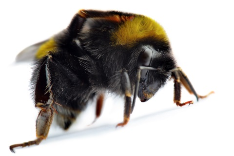 bumblebee removal
