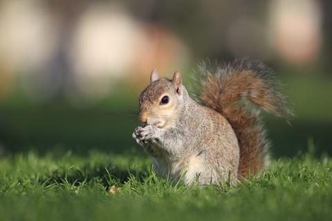 squirrel removal squirrel control