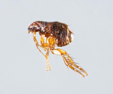 fleas control fleas removal