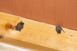 bat inside house