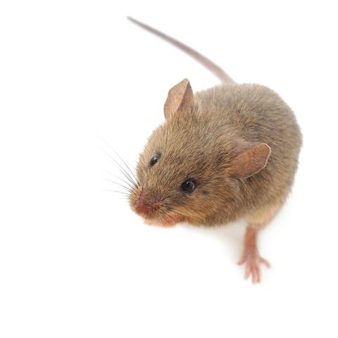 mice control mice removal