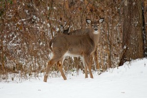 deer-314966_1280